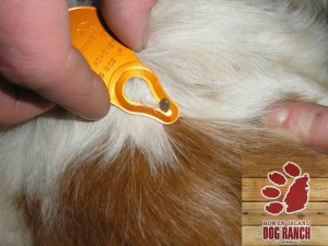Remove a Tick from your Dog