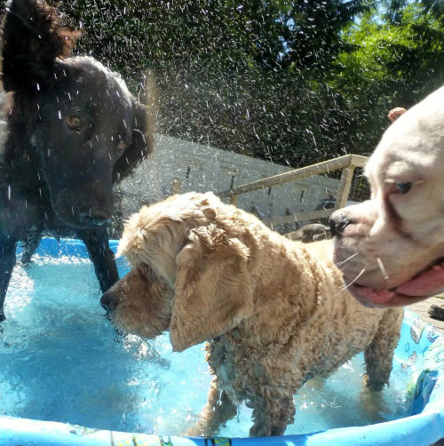 Three dogs playing outside in a wading pool.