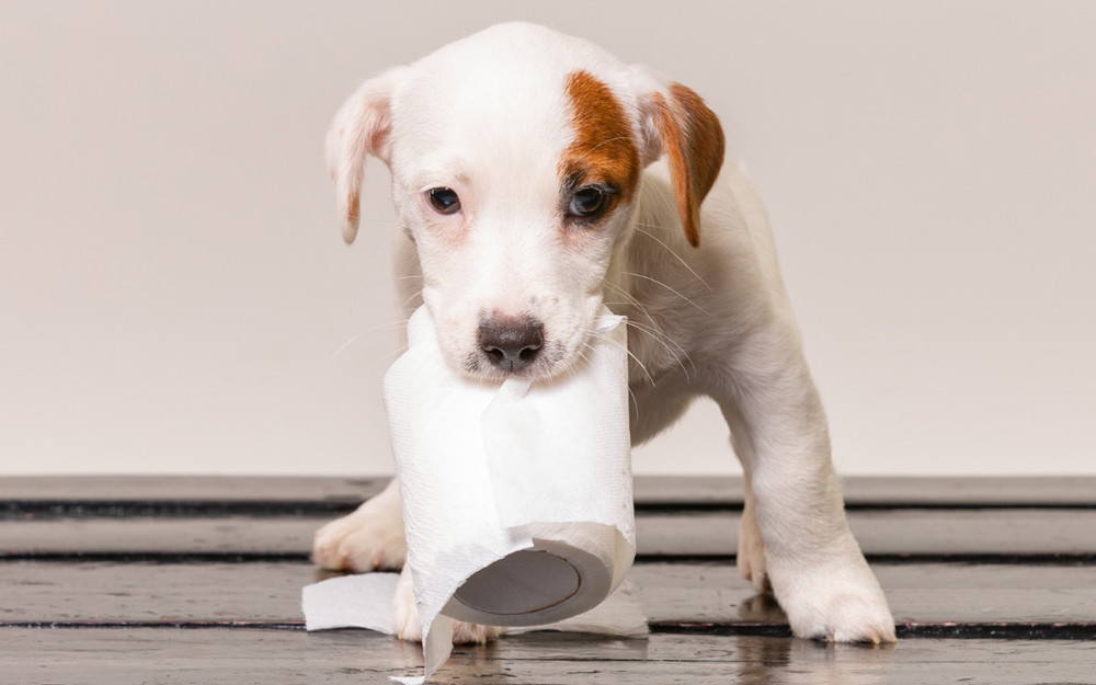 Puppy with toiler paper roll in its mouth.