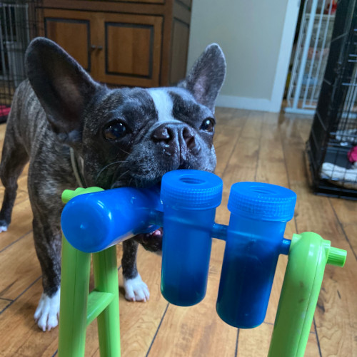 Small dog plays with a game toy indoors.