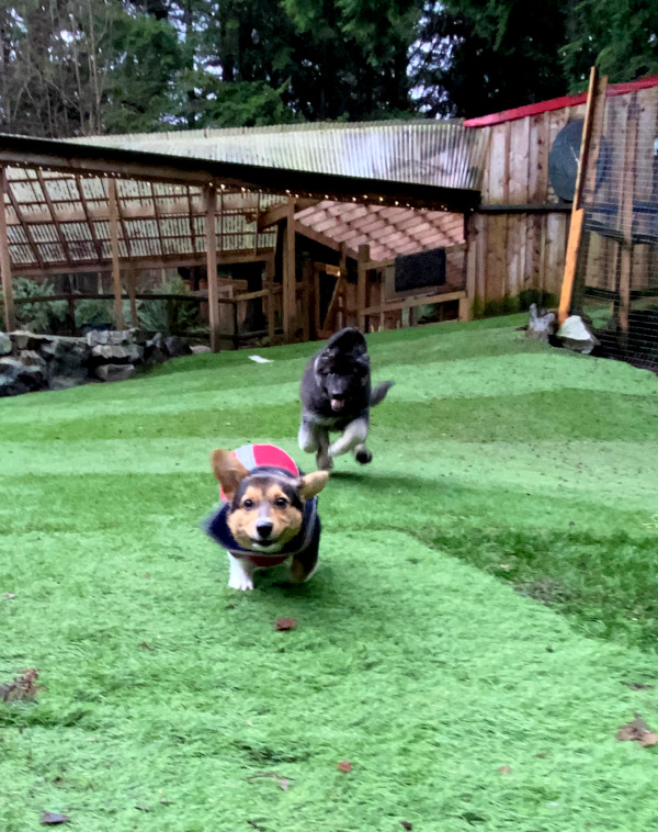 Two excited puppies running on green grass.