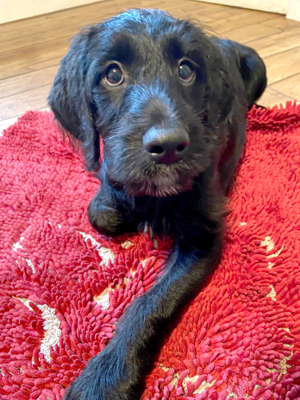 Black puppy settles patiently on a red rug.