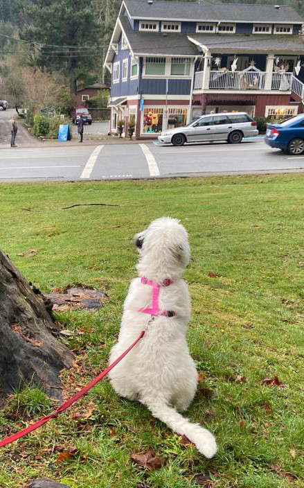 White dog waiting patiently on leash by a tree.