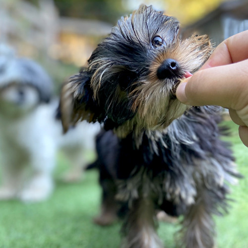 Small dog takes a treat from trainer's hand.