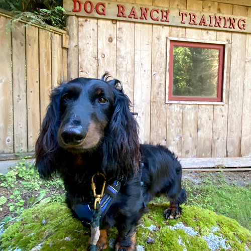 Happy dog stands in front of Bowen Island Dog Ranch training hut.