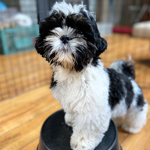 Cute black and white dog stands on a stool.