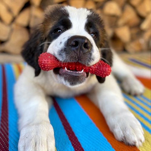 Puppy with a red bone chew toy in its mouth.