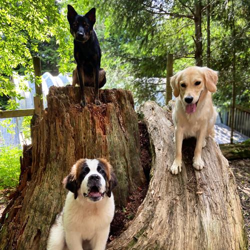 Three dogs sitting calmly on tree stumps.