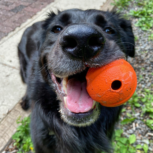 Black dog with a red ball in its mouth.