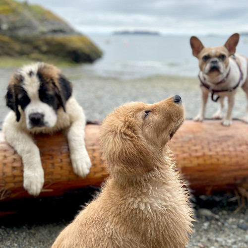 Three dogs enjoy a day at the beach.