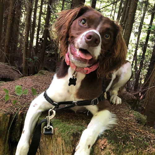 Cocker spaniel looking excited in a forest.