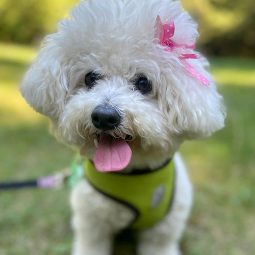 Dog named Sophie with a pink ribbon in her hair.