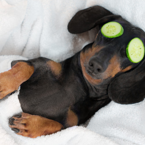 Daschund with cucumber slices over its eyes - at the Spa!