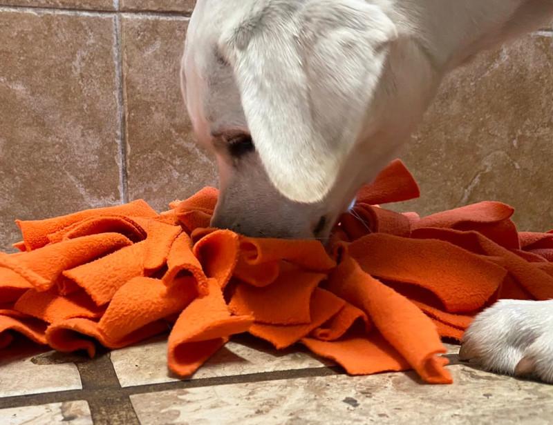 Dog investigates orange towel.