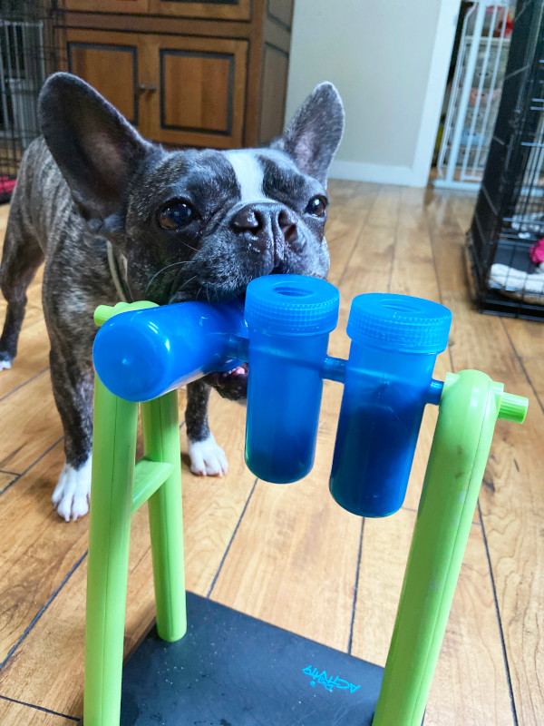 Dog with canine enrichment toy.