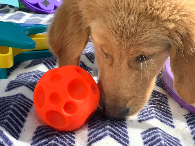 Dog nuzzles orange treat ball.
