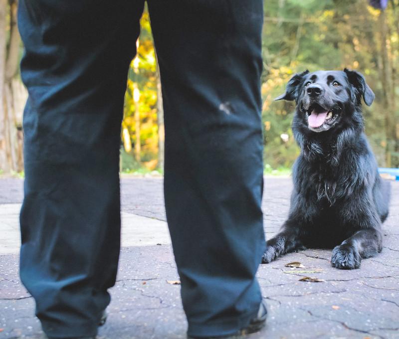 Dog sits calmly ready for Carey's training signal.
