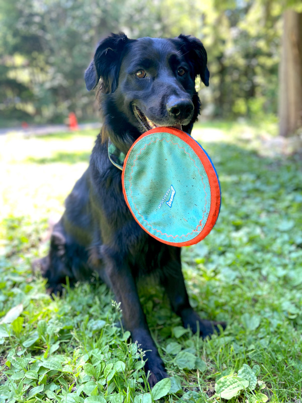 Black dog holds a Frisbee in his mouth.